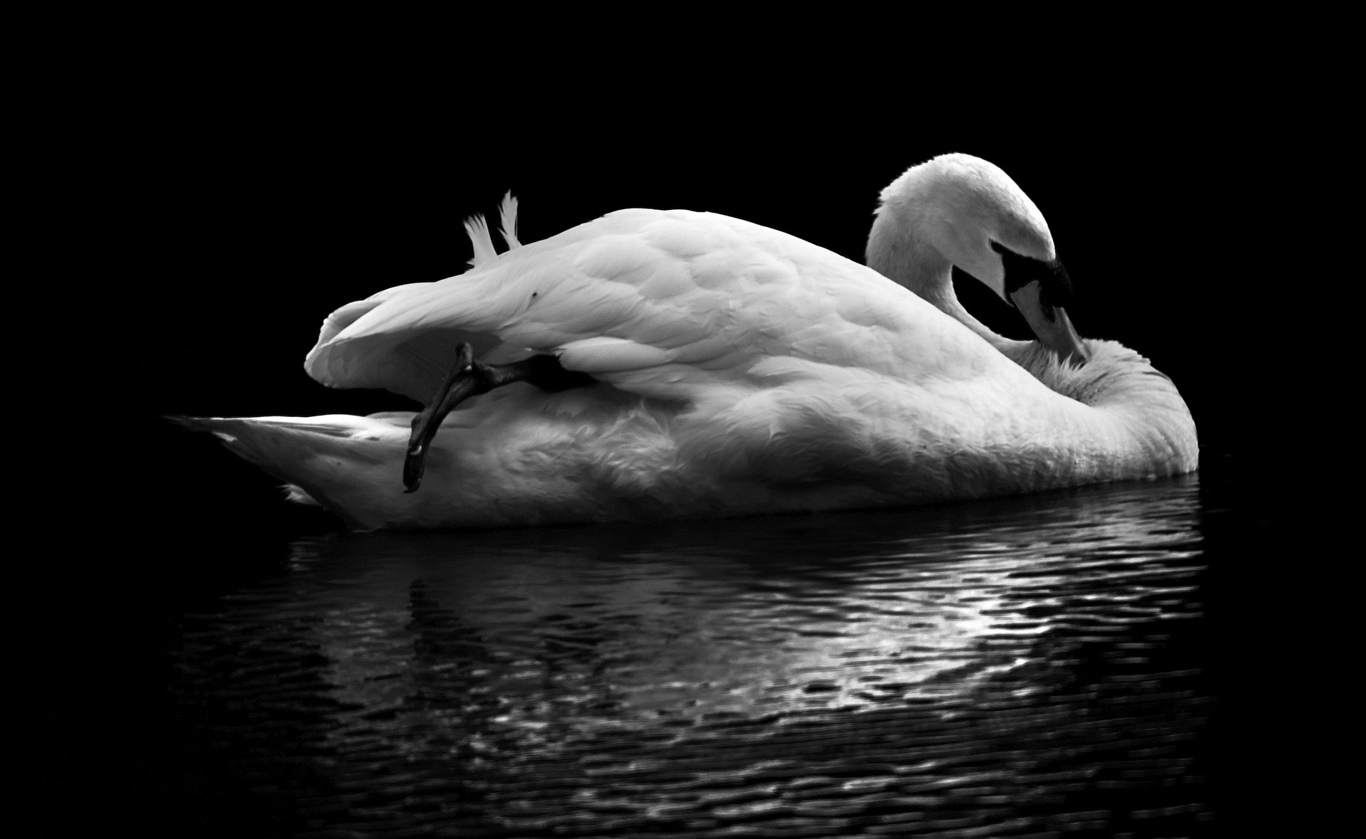 the white and black swan mirror