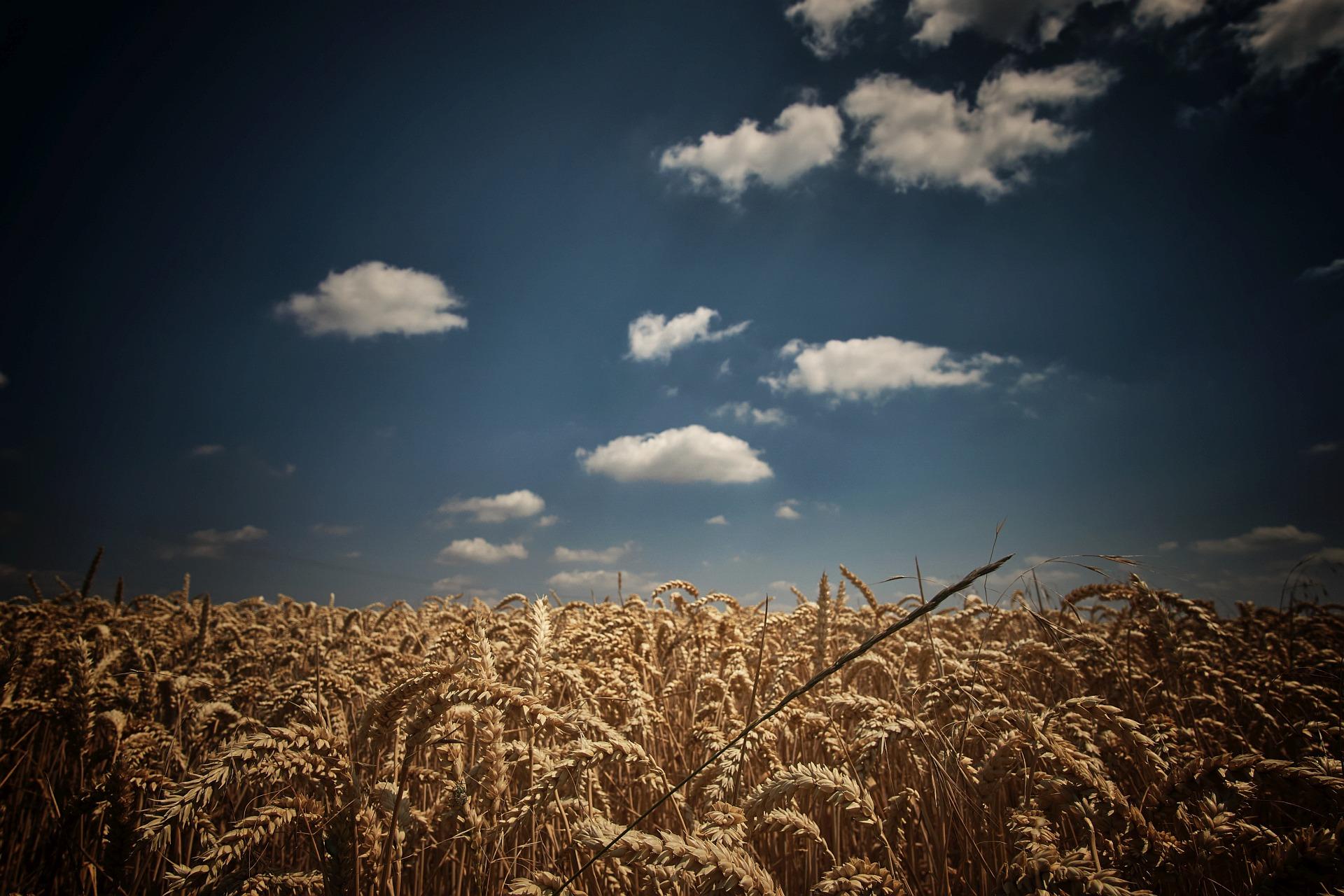 Wolkenmeer im Weizenfeld